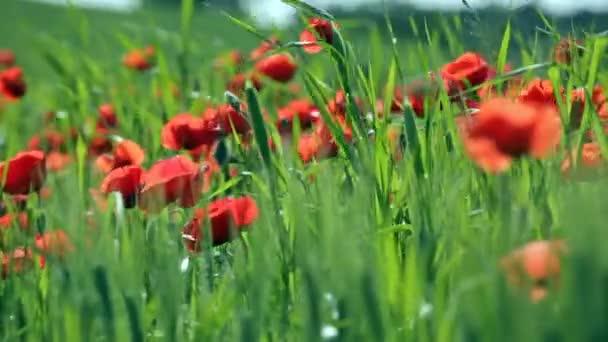 Jarní pole s máky