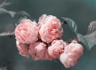 Oriental cherry sakura