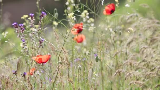 mező a virágzó piros Pipacsok