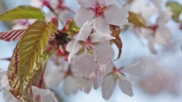 Pobočka orientální kvetoucí třešeň sakura