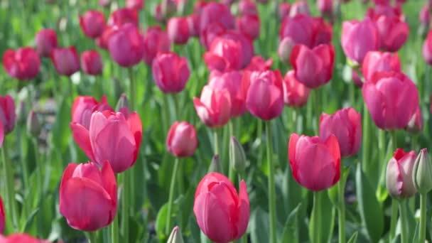 růžové tulipány na posteli