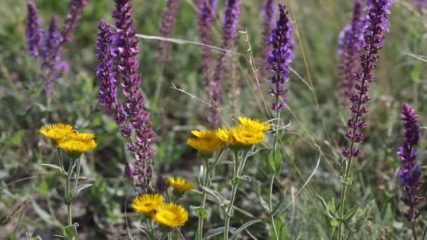 kvetoucí šalvěj a žluté květy