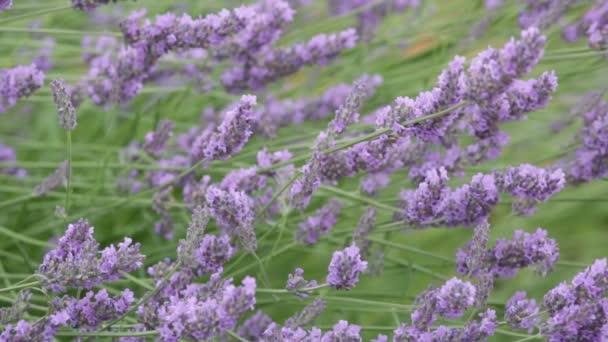 Virágzó levendula mező