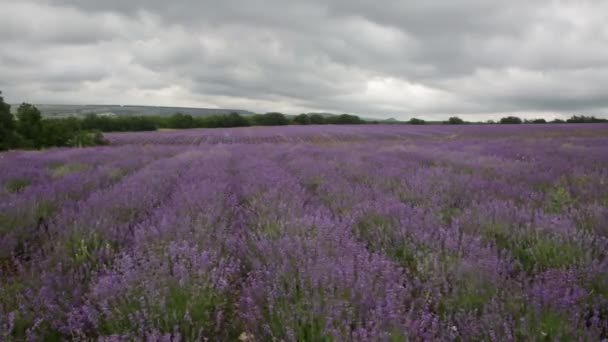 Velké pole kvetoucí levandule