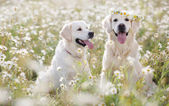 Two young Golden Retriever in the flower meadow.
