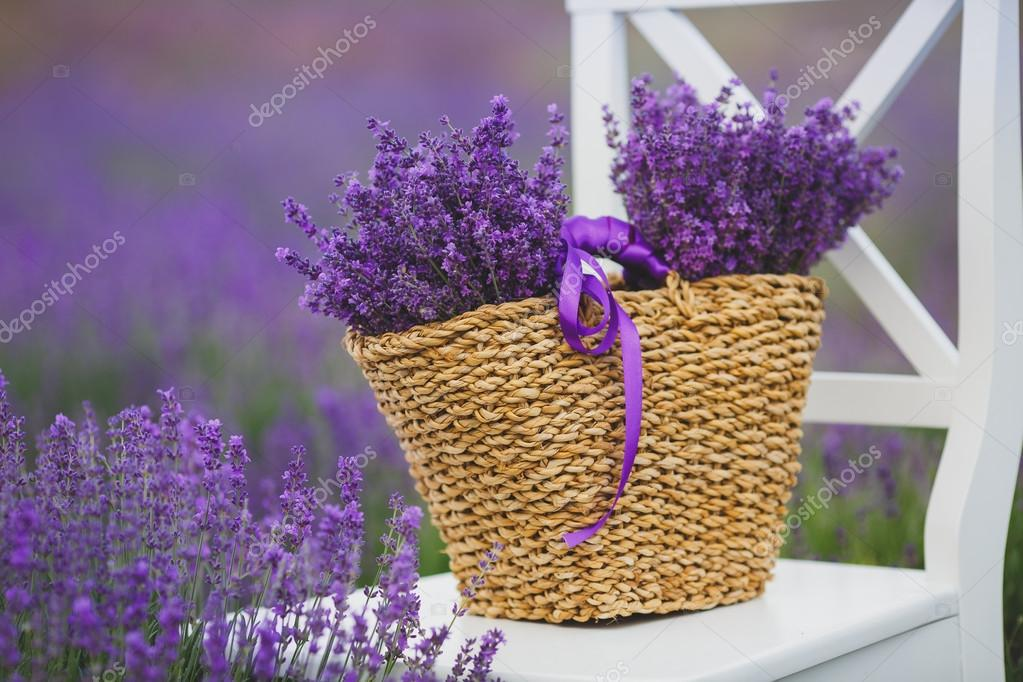 Fragrant blooming lavender in a basket on a lavender field.