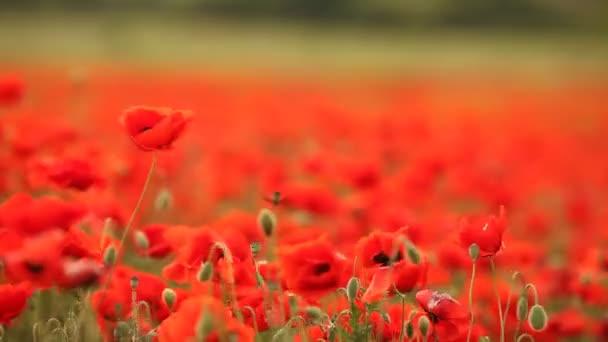 červené maková pole v ranní mlze