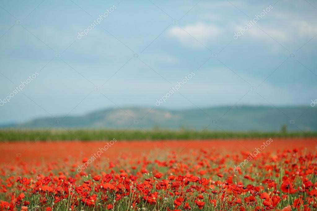 Bright summer field of red poppies