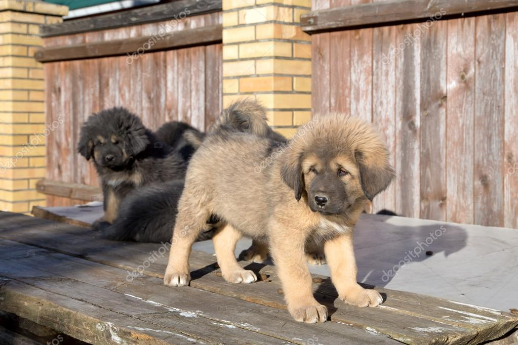 Puppies breed Tibetan Mastiff — Stock Photo © Laures #54881093