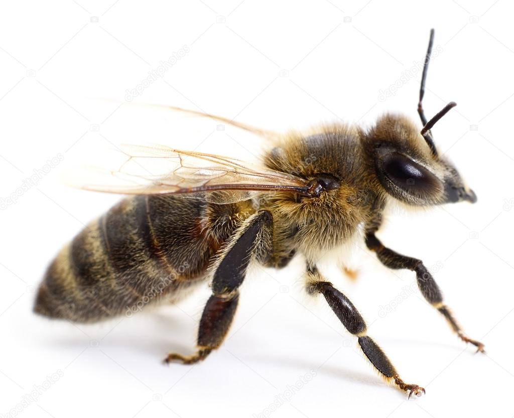 Striped bee.