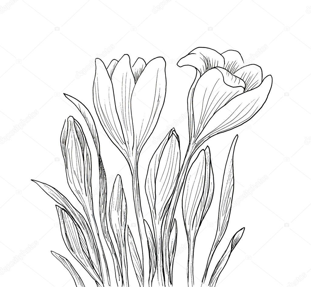 Hand drawn crocus flowers.