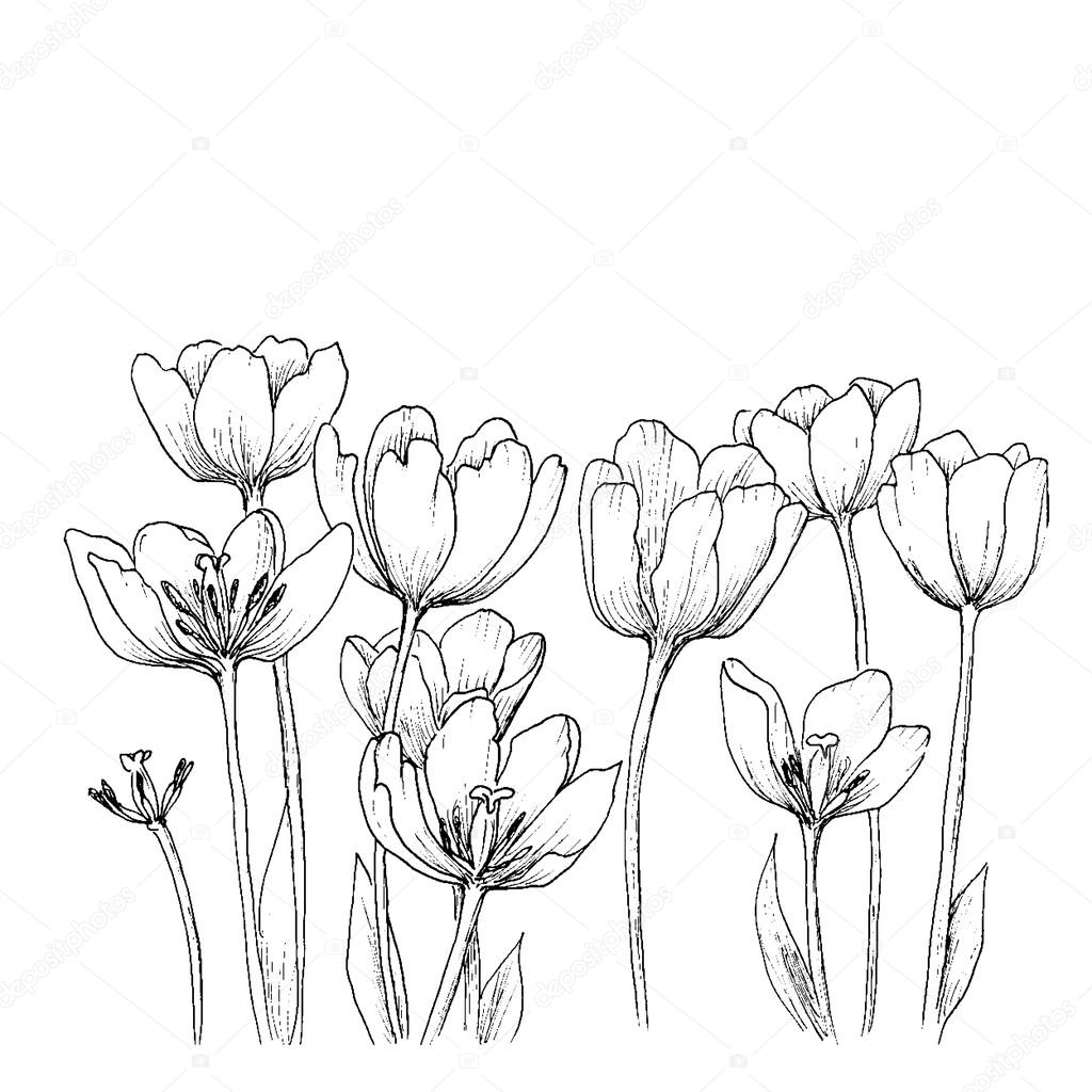 Tulips on a white background.