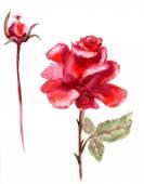 szép Rózsa virág