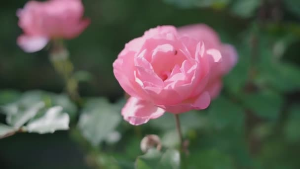 Beautiful garden roses. Pink flowers. Slow motion.