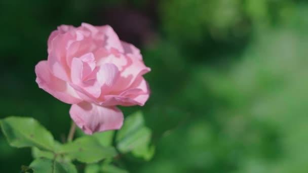 Gyönyörű kerti rózsák. Rózsaszín virágok. Lassú mozgás..