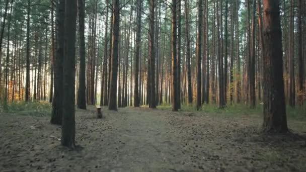 Procházková stezka v letním lese za soumraku.