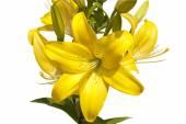 Kytice od žlutá lilie