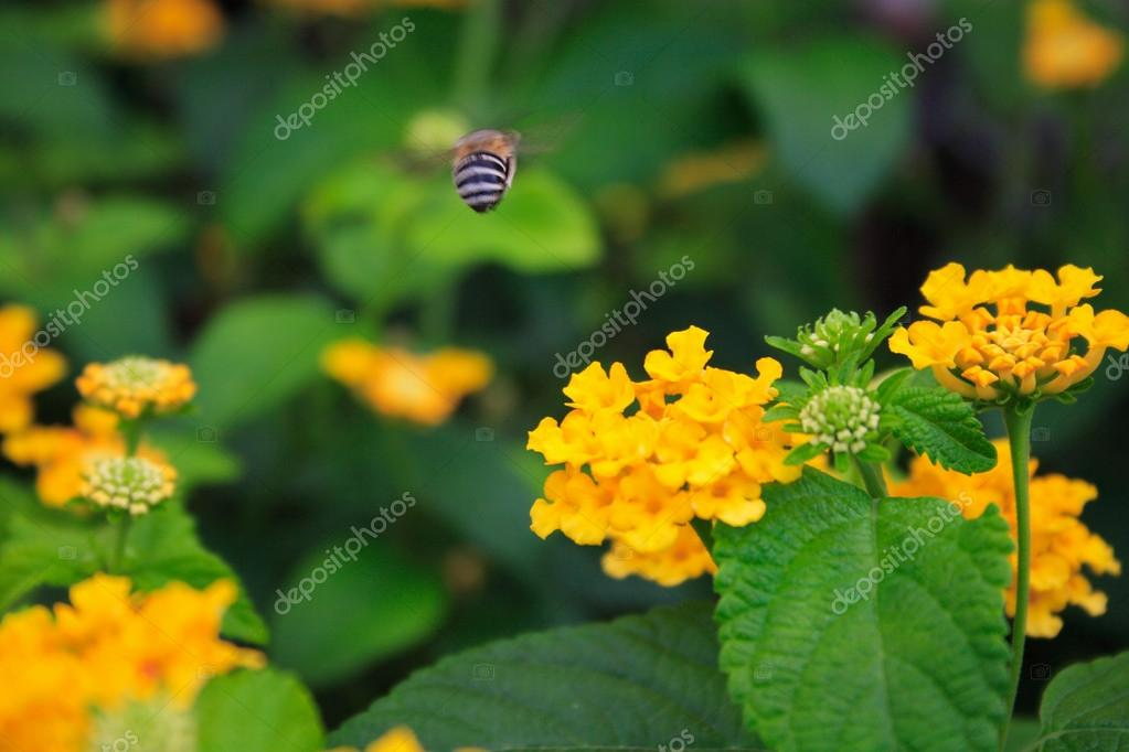 Bee fly over flower