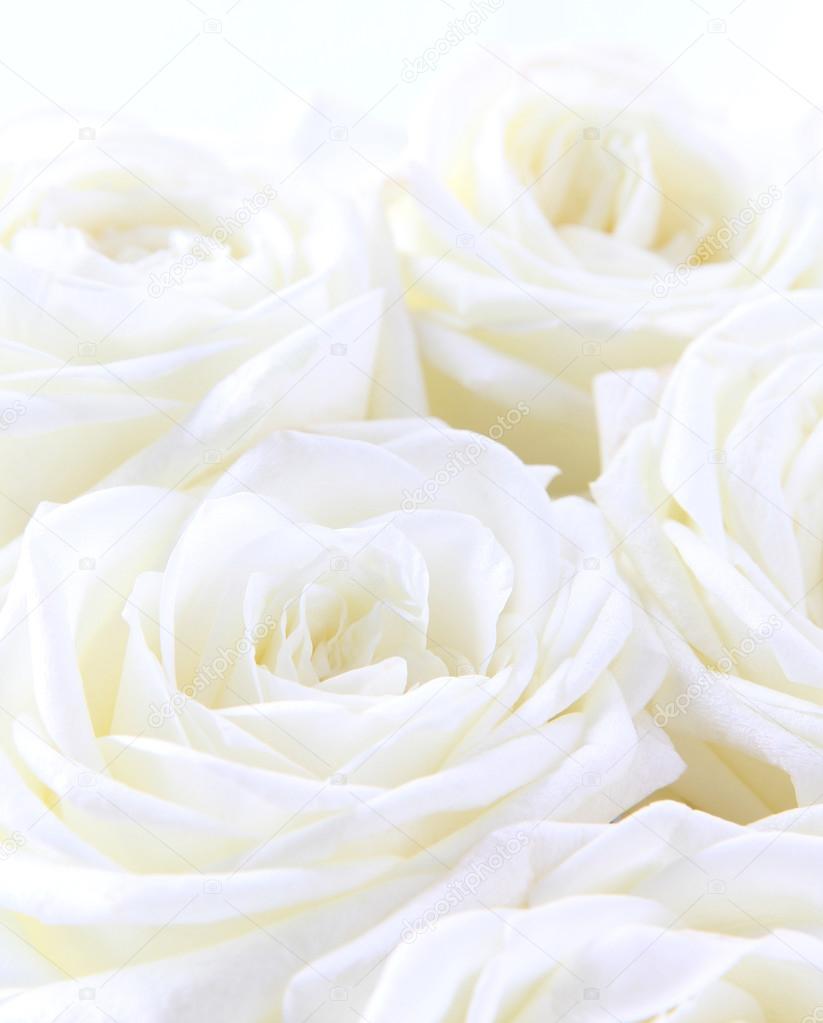 sch ne weisse rosen als hochzeit hintergrund soft fokus stockfoto oxanatravel 81647242. Black Bedroom Furniture Sets. Home Design Ideas