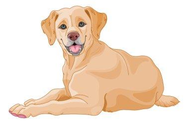 cute beige Labrador
