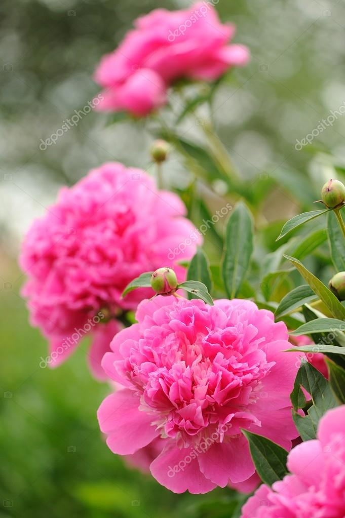 A Beautiful Blooming Peony Bush With Large Pink Flowers In The Garden Photo By Digifuture