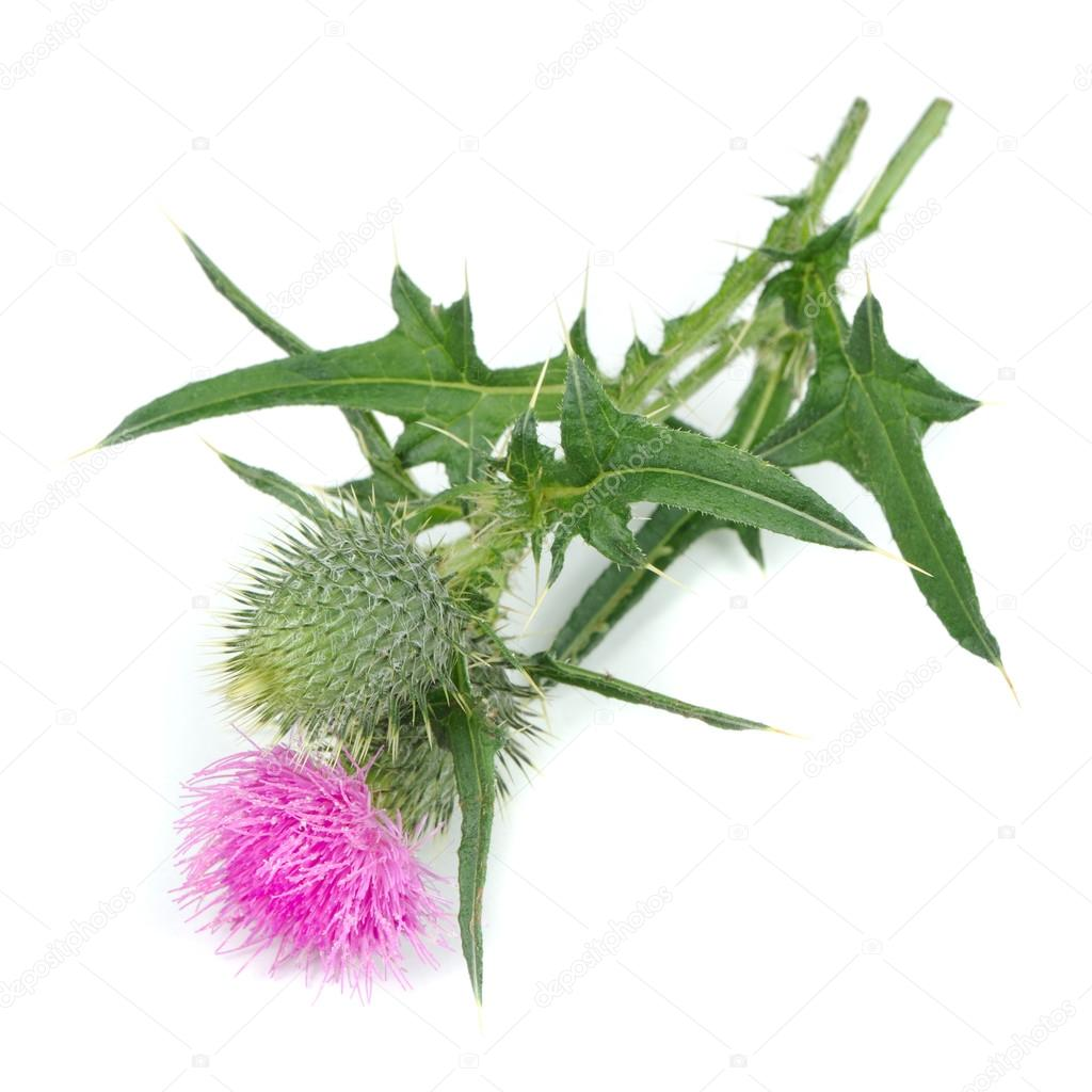 Milk Thistle (Silybum Marianum) with Flower Isolated on White Background