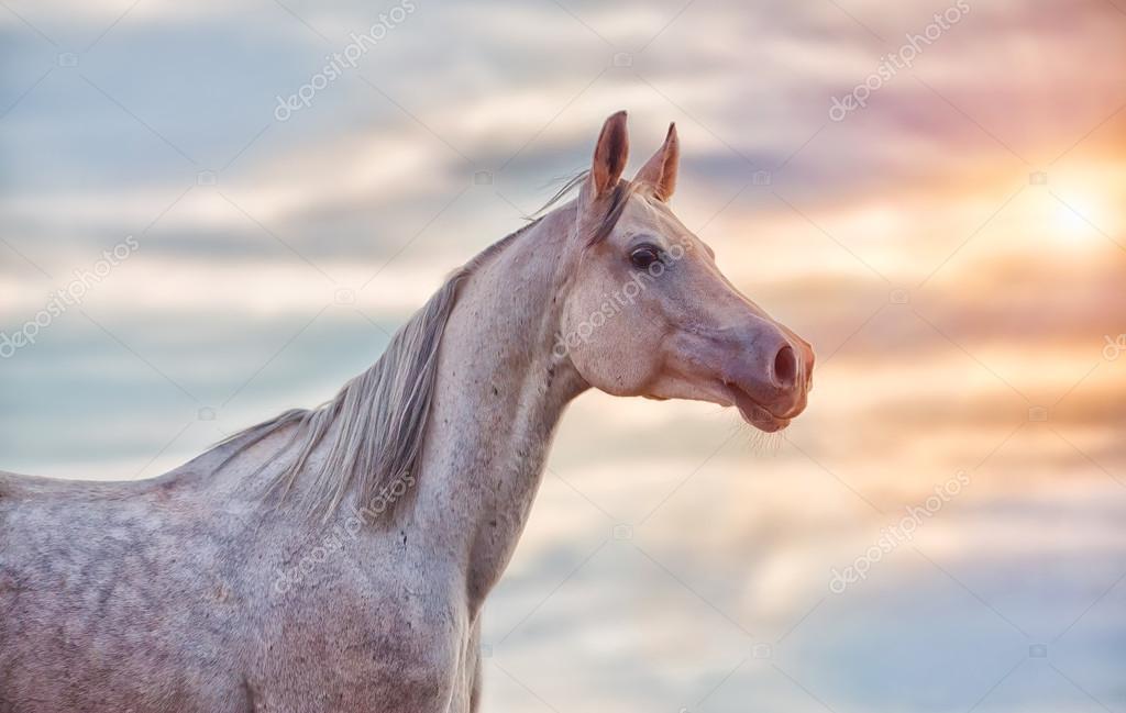 The Grey Arabian Horse Stock Photo C Juliasha 60841085