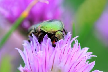 The green rose chafer on chive flowers