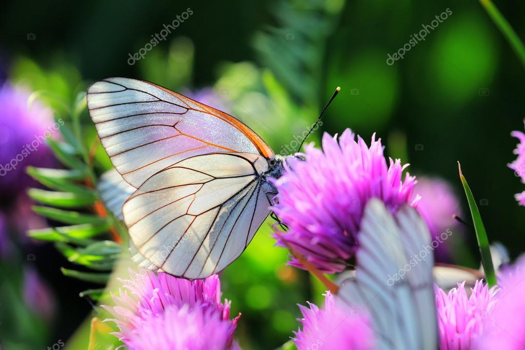 White butterfly on chive flowers