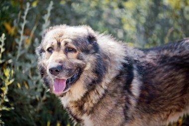 Caucasian shepherd exterior