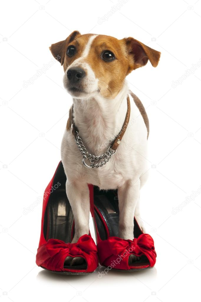5f67fc71e76 Jack Russell Terrier in female shoes — Stock Photo © nanka-photo ...