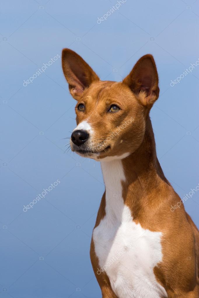 Small Hunting Dog Breed Basenji Stock Photo C Gsdonlin 54033395