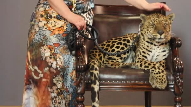 Womans hand stroking a leopard s head