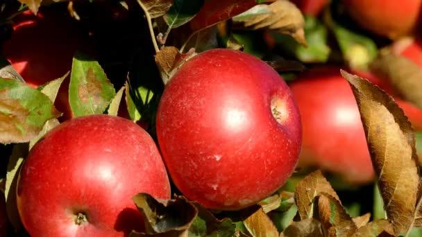 Červená sladká jablka na větvi v zahradě