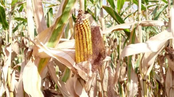 klas kukuřice roste v kukuřičném poli