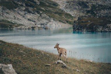 The West Caucasian goat