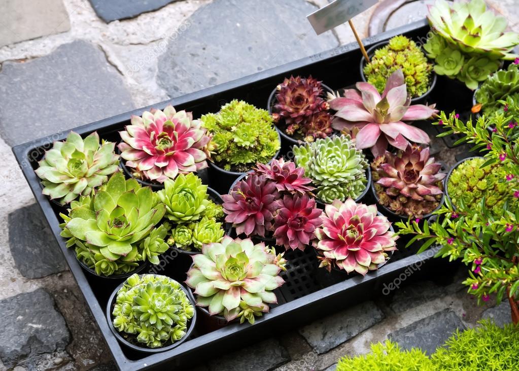 Various succulents plants