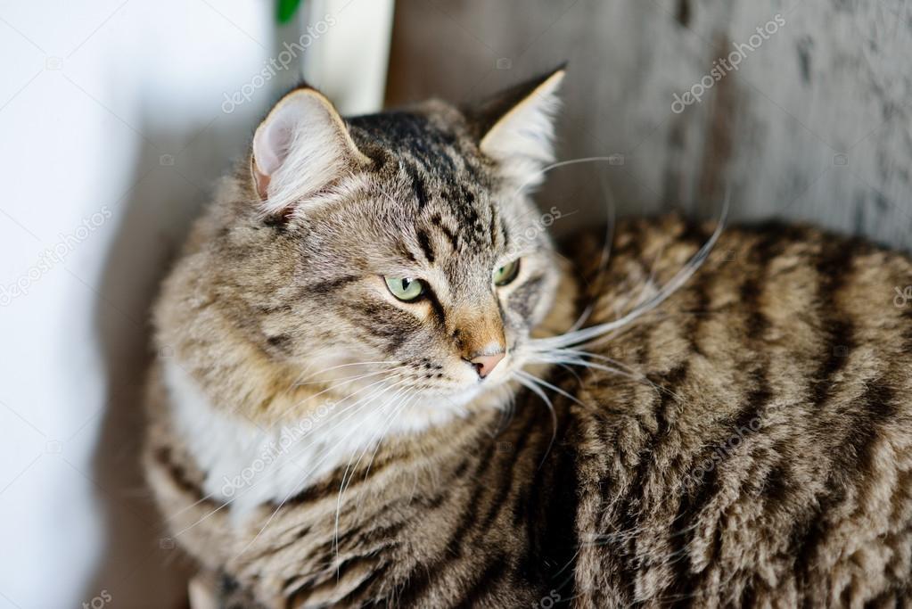 Siberian big cat