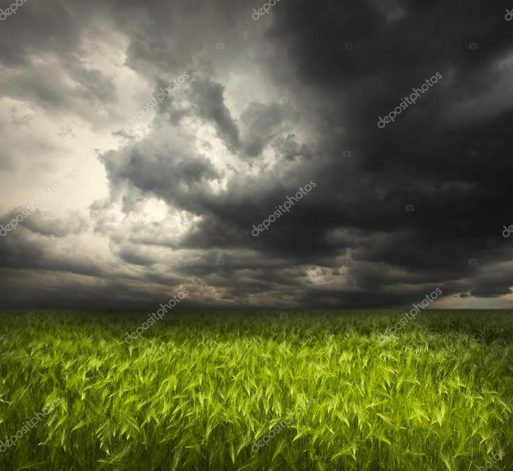 green wheat and stormy sky