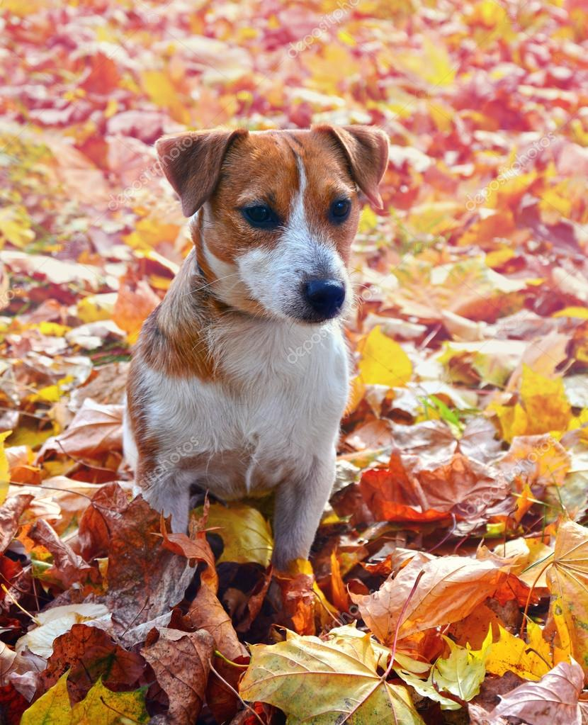 Cute jack russell terrier, dog on a background of autumn leaves