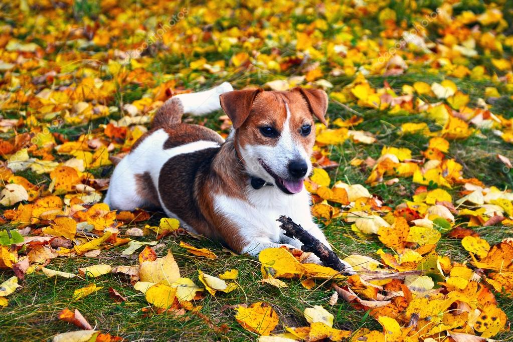 Cute jack russell terrier, dog with a stick on a background of a
