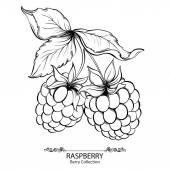 Maliny. Vektorové ilustrace inkoustu ručně tažené berry