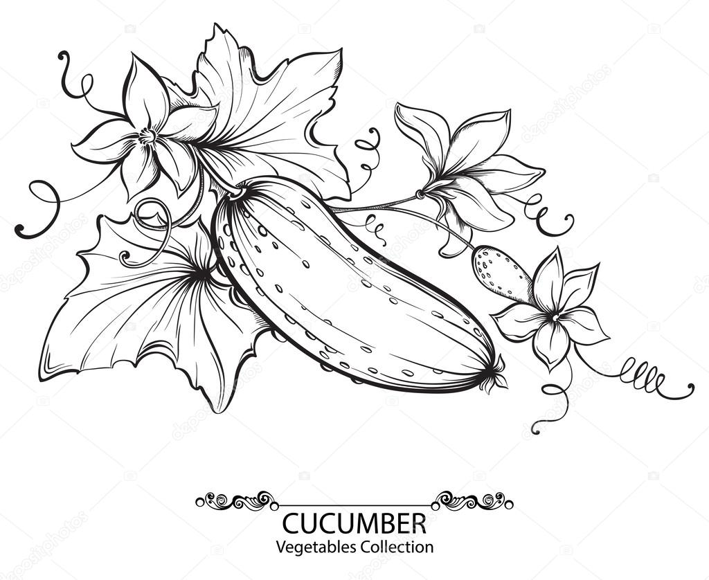 Vector hand drawing illustration of cucumbers and flower on a branch isolated on white background. Collection of vegetables