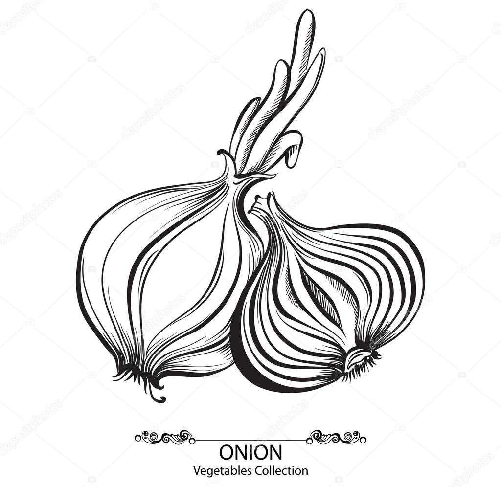 Onion whole and sliced. Vector hand drawn vegetables isolated on white background
