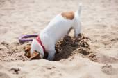 Fotografie Kleine Jack Russel Welpen Hund spielen am Strand