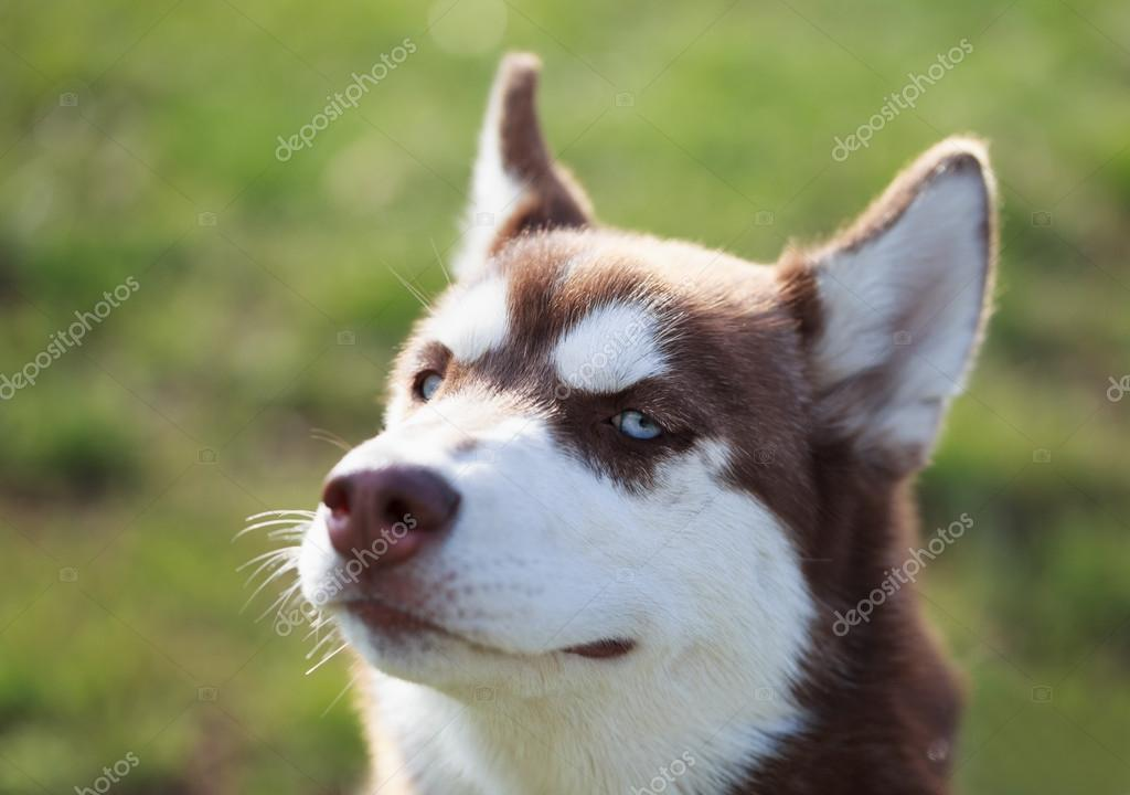 All brown husky with blue eyes