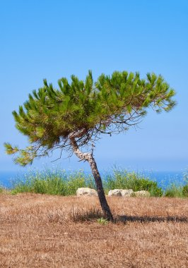A lonely pine growing on the scorched earth on the Mediterranean