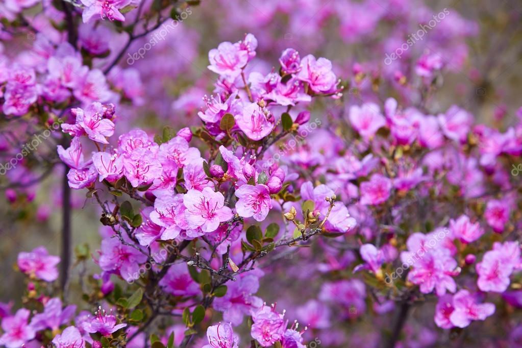 Closeup shot of Rhododendron dauricum flowers