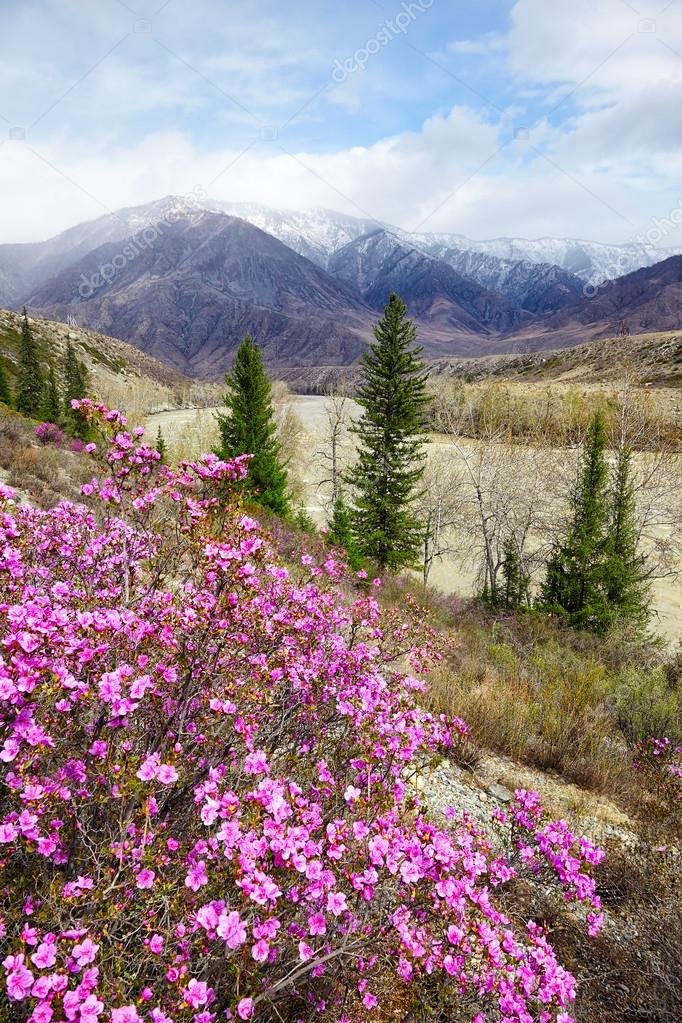Altai landscape with Rhododendron dauricum flowers
