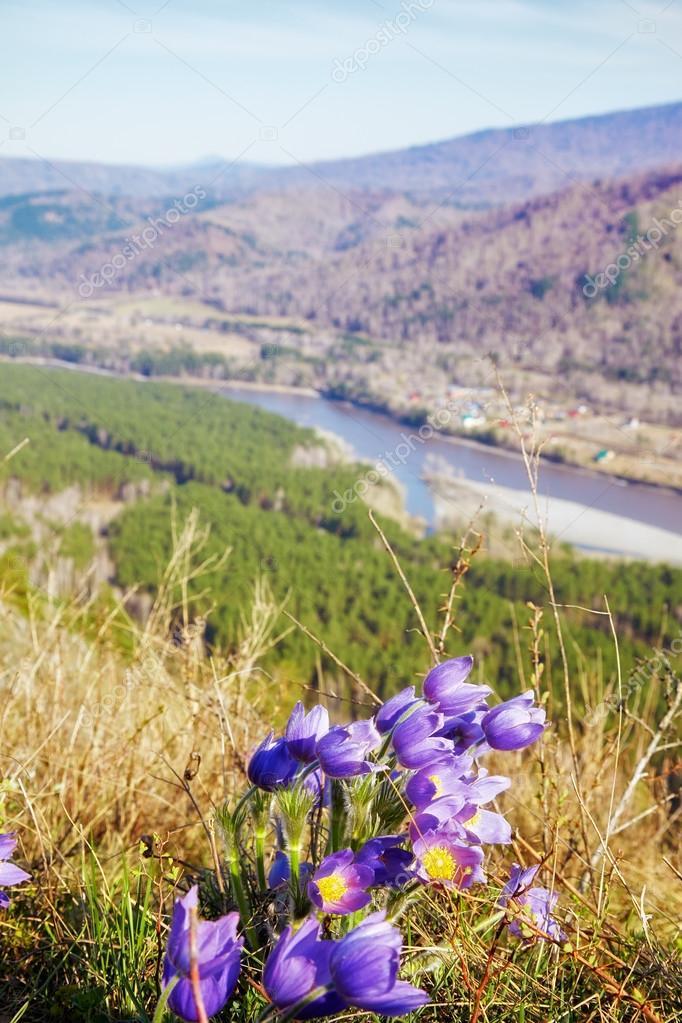 Pulsatilla flowers in Altay mountains landskape
